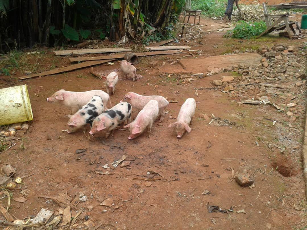 Schweine Burundi